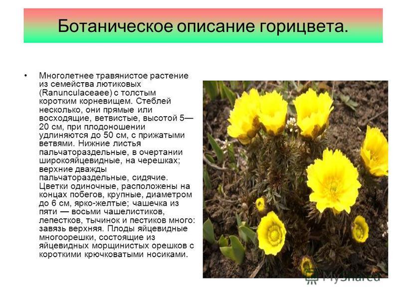 Ботаническое описание горицвета. Многолетнее травянистое растение из семейства лютиковых (Ranunculaceaee) с толстым коротким корневищем. Стеблей несколько, они прямые или восходящие, ветвистые, высотой 5 20 см, при плодоношении удлиняются до 50 см, с