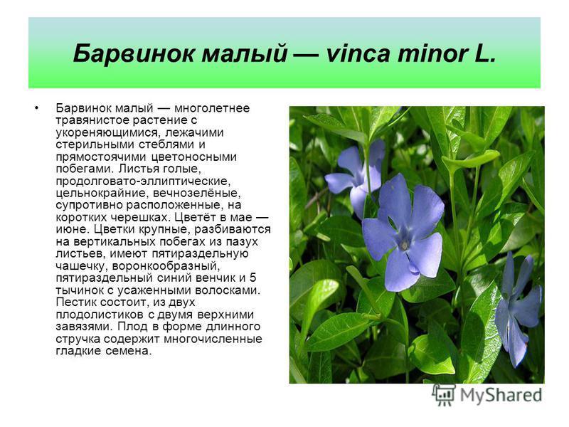 Барвинок малый vinca minor L. Барвинок малый многолетнее травянистое растение с укореняющимися, лежачими стерильными стеблями и прямостоячими цветоносными побегами. Листья голые, продолговато-эллиптические, цельнокрайние, вечнозелёные, супротивно рас