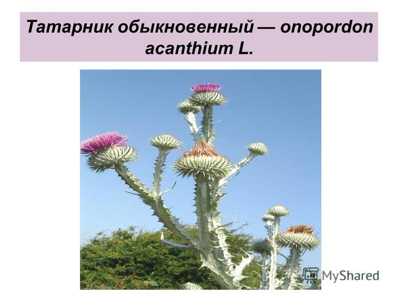 Татарник обыкновенный onopordon acanthium L.
