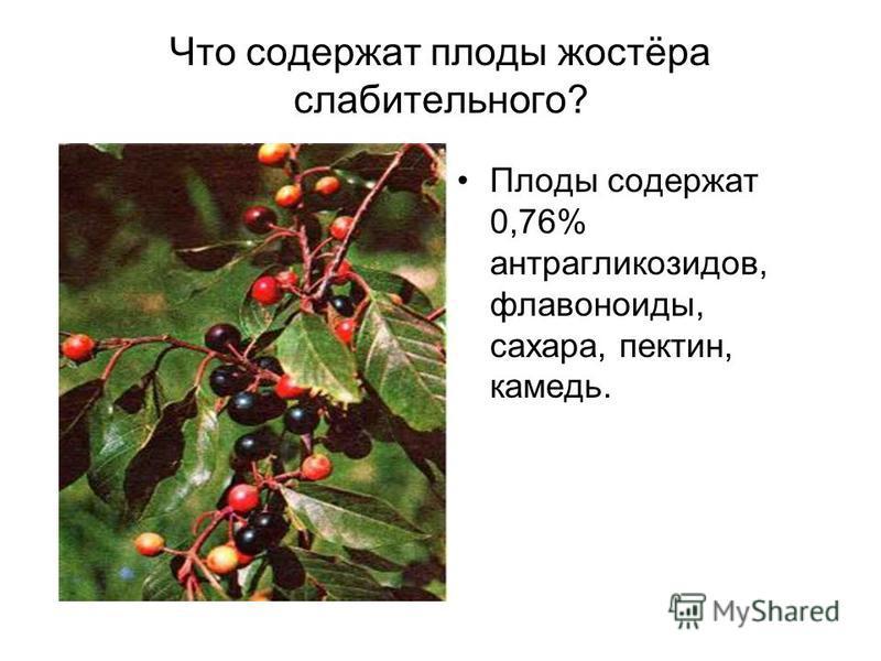 Что содержат плоды жостёра слабительного? Плоды содержат 0,76% антрагликозидов, флавоноиды, сахара, пектин, камедь.