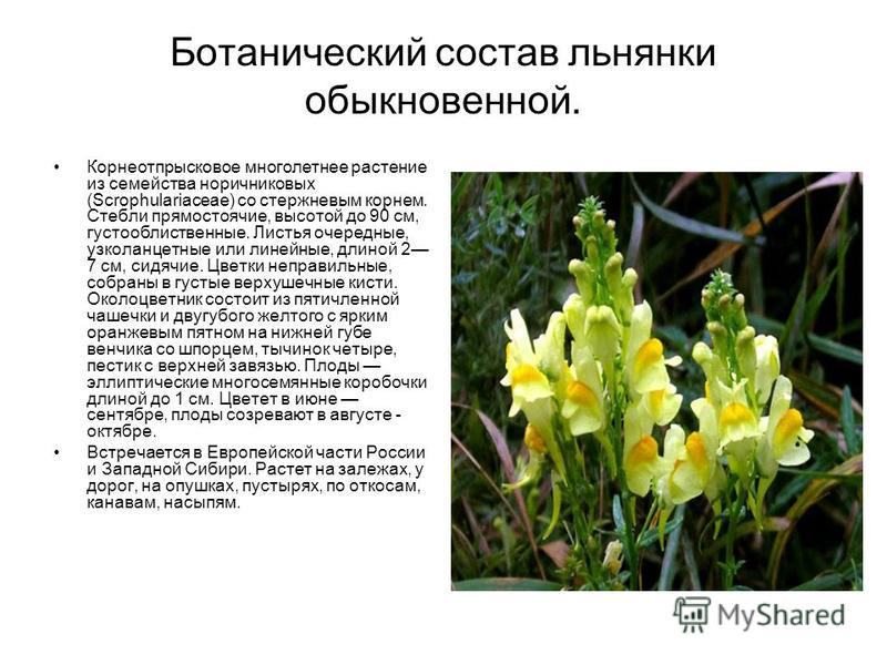 Ботанический состав льнянки обыкновенной. Корнеотпрысковое многолетнее растение из семейства норичниковых (Scrophulariaсеае) со стержневым корнем. Стебли прямостоячие, высотой до 90 см, густооблиственные. Листья очередные, узколанцетные или линейные,