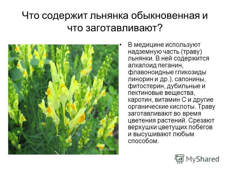 Что содержит льнянка обыкновенная и что заготавливают? В медицине используют надземную часть (траву) льнянки. В ней содержится алкалоид пеганин, флавоноидные гликозиды линорин и др.), сапонины, фитостерин, дубильные и пектиновые вещества, каротин, ви