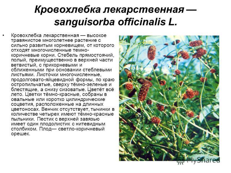Кровохлебка лекарственная sanguisorba officinalis L. Кровохлебка лекарственная высокое травянистое многолетнее растение с сильно развитым корневищем, от которого отходят многочисленные темно- коричневые корни. Стебель прямостоячий, полый, преимуществ