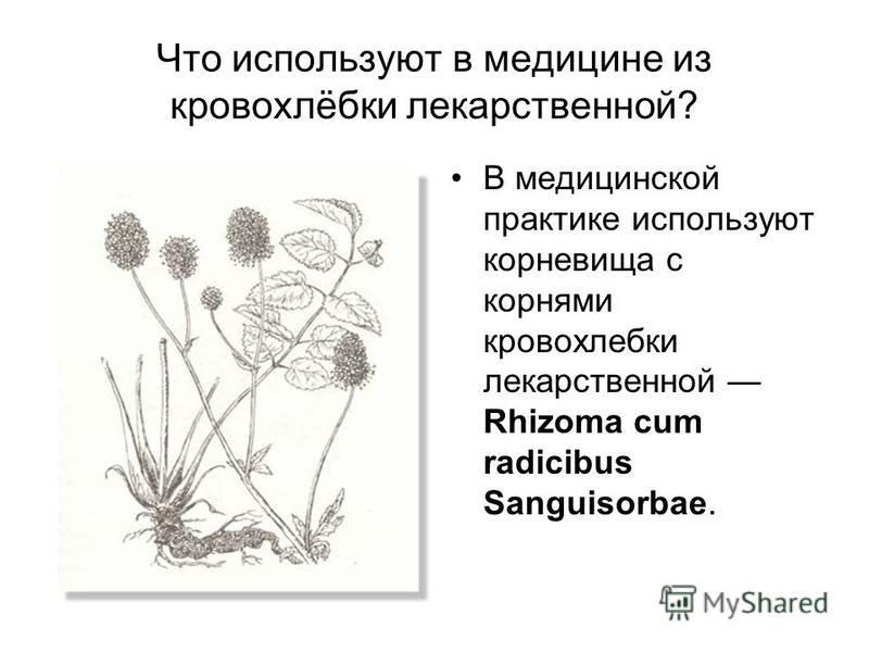 Что используют в медицине из кровохлёбки лекарственной? В медицинской практике используют корневища с корнями кровохлебки лекарственной Rhizoma cum radicibus Sanguisorbae.