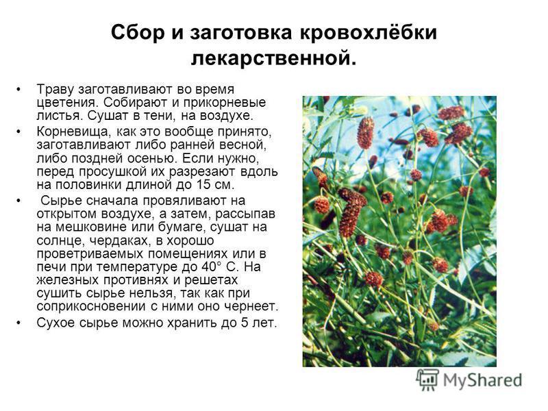 Сбор и заготовка кровохлёбки лекарственной. Траву заготавливают во время цветения. Собирают и прикорневые листья. Сушат в тени, на воздухе. Корневища, как это вообще принято, заготавливают либо ранней весной, либо поздней осенью. Если нужно, перед пр