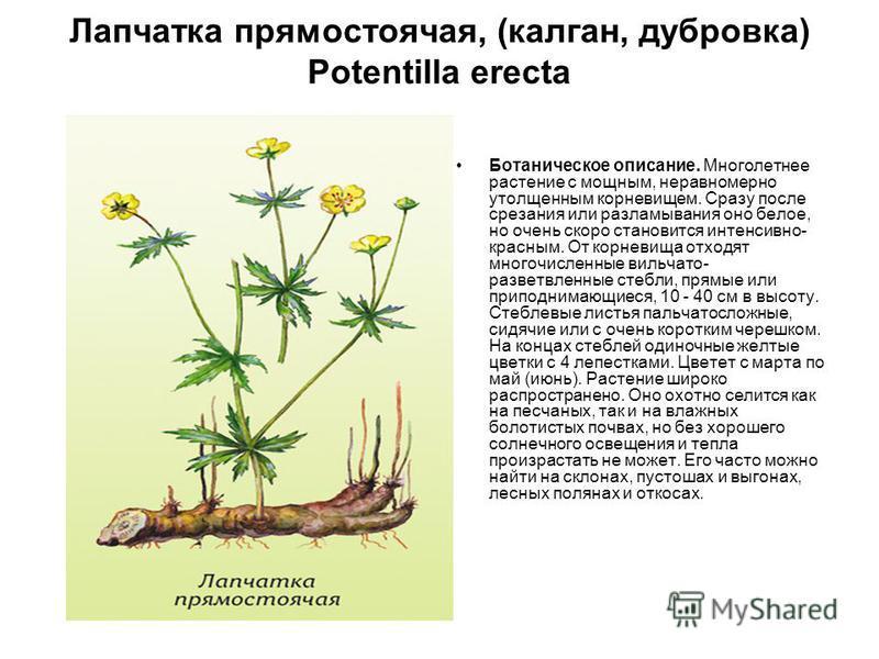 Лапчатка прямостоячая, (калган, дубровка) Potentilla erecta Ботаническое описание. Многолетнее растение с мощным, неравномерно утолщенным корневищем. Сразу после срезания или разламывания оно белое, но очень скоро становится интенсивно- красным. От к
