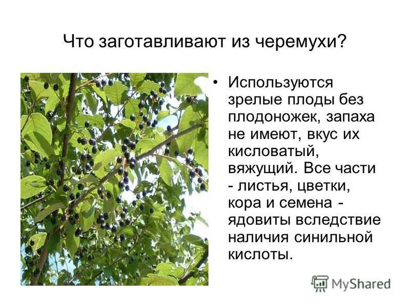 Что заготавливают из черемухи? Используются зрелые плоды без плодоножек, запаха не имеют, вкус их кисловатый, вяжущий. Все части - листья, цветки, кора и семена - ядовиты вследствие наличия синильной кислоты.