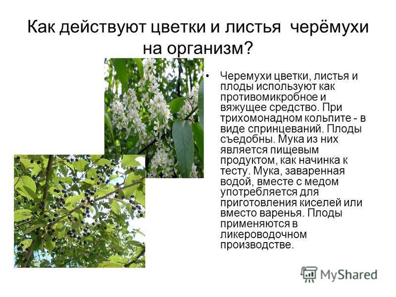 Как действуют цветки и листья черёмухи на организм? Черемухи цветки, листья и плоды используют как противомикробное и вяжущее средство. При трихомонадном кольпите - в виде спринцеваний. Плоды съедобны. Мука из них является пищевым продуктом, как начи