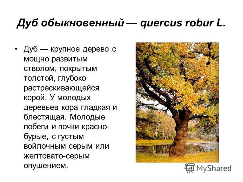 Дуб крупное дерево с мощно развитым стволом, покрытым толстой, глубоко растрескивающейся корой. У молодых деревьев кора гладкая и блестящая. Молодые побеги и почки красно- бурые, с густым войлочным серым или желтовато-серым опушением.