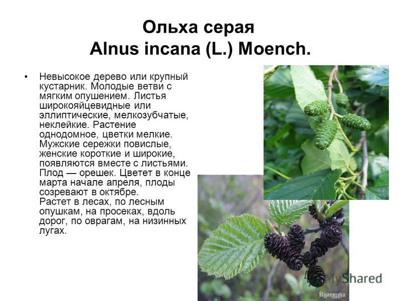 Ольха серая Alnus incana (L.) Moench. Невысокое дерево или крупный кустарник. Молодые ветви с мягким опушением. Листья широкояйцевидные или эллиптические, мелкозубчатые, неклейкие. Растение однодомное, цветки мелкие. Мужские сережки повислые, женские