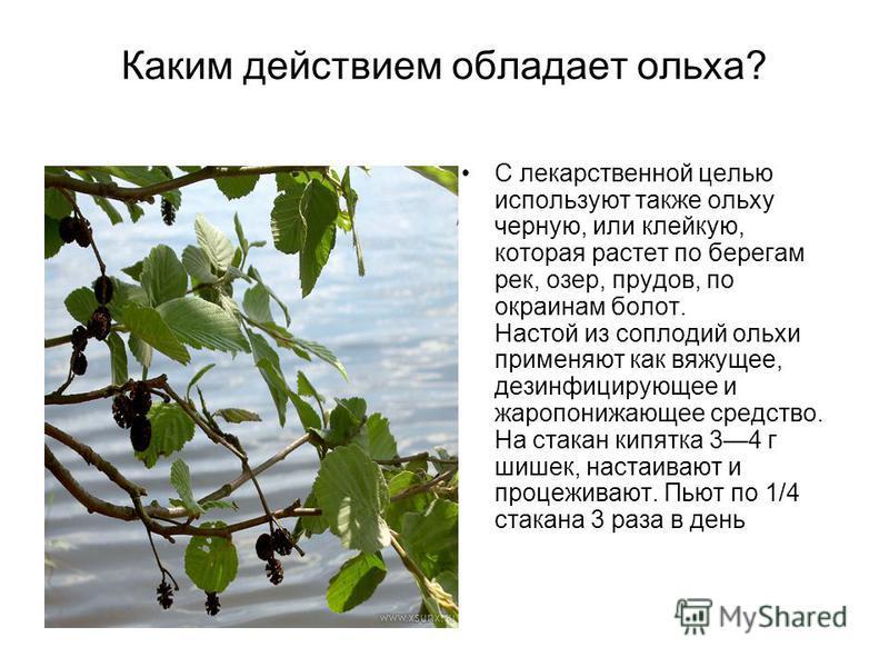 Каким действием обладает ольха? С лекарственной целью используют также ольху черную, или клейкую, которая растет по берегам рек, озер, прудов, по окраинам болот. Настой из соплодий ольхи применяют как вяжущее, дезинфицирующее и жаропонижающее средств
