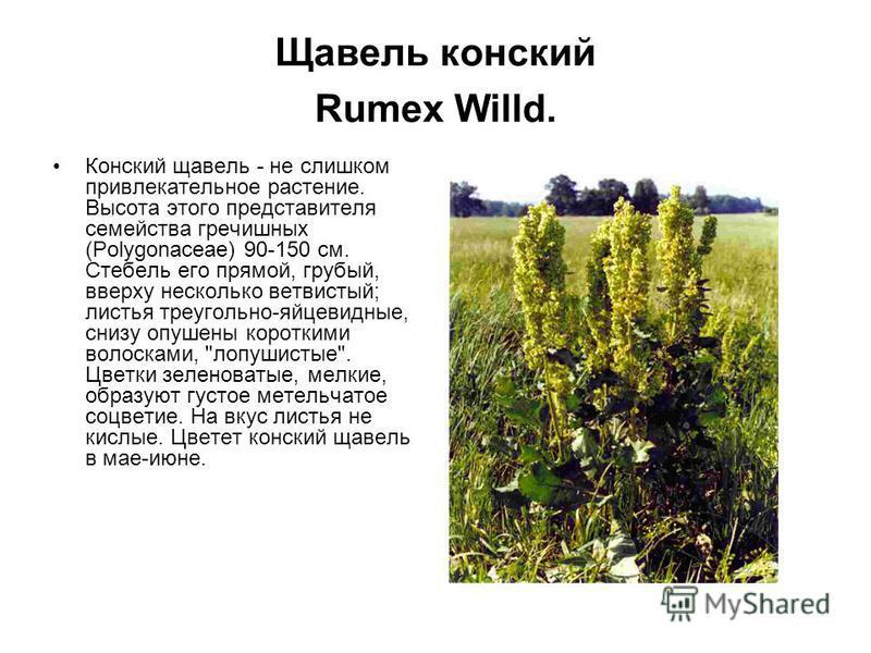 Щавель конский Rumex Willd. Конский щавель - не слишком привлекательное растение. Высота этого представителя семейства гречишных (Polygonaceae) 90-150 см. Стебель его прямой, грубый, вверху несколько ветвистый; листья треугольно-яйцевидные, снизу опу