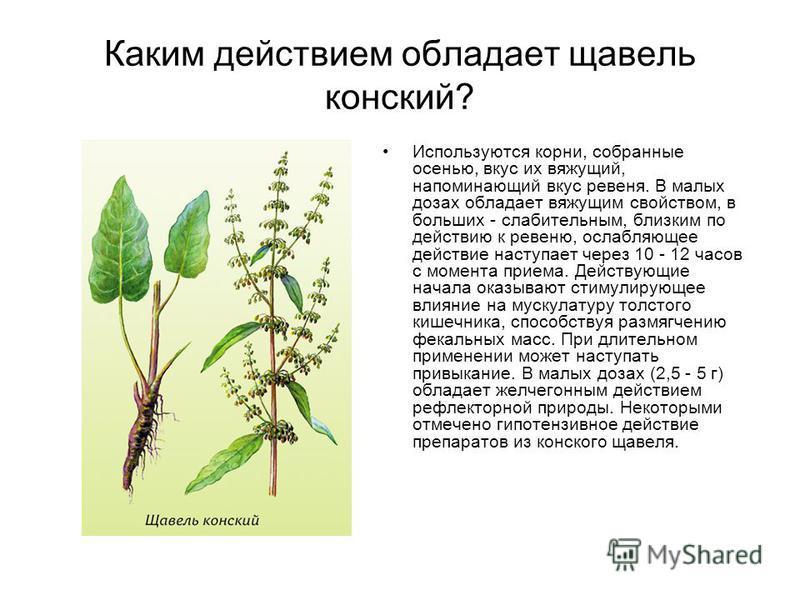 Каким действием обладает щавель конский? Используются корни, собранные осенью, вкус их вяжущий, напоминающий вкус ревеня. В малых дозах обладает вяжущим свойством, в больших - слабительным, близким по действию к ревеню, ослабляющее действие наступает