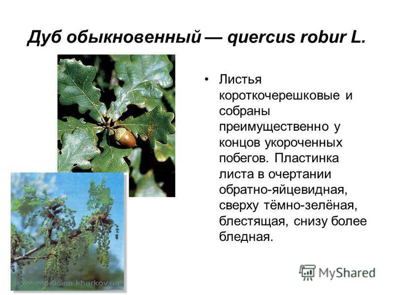 Дуб обыкновенный quercus robur L. Листья короткочерешковые и собраны преимущественно у концов укороченных побегов. Пластинка листа в очертании обратно-яйцевидная, сверху тёмно-зелёная, блестящая, снизу более бледная.