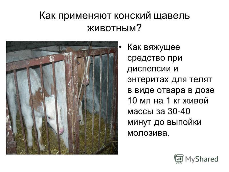Как применяют конский щавель животным? Как вяжущее средство при диспепсии и энтеритах для телят в виде отвара в дозе 10 мл на 1 кг живой массы за 30-40 минут до выпойки молозива.