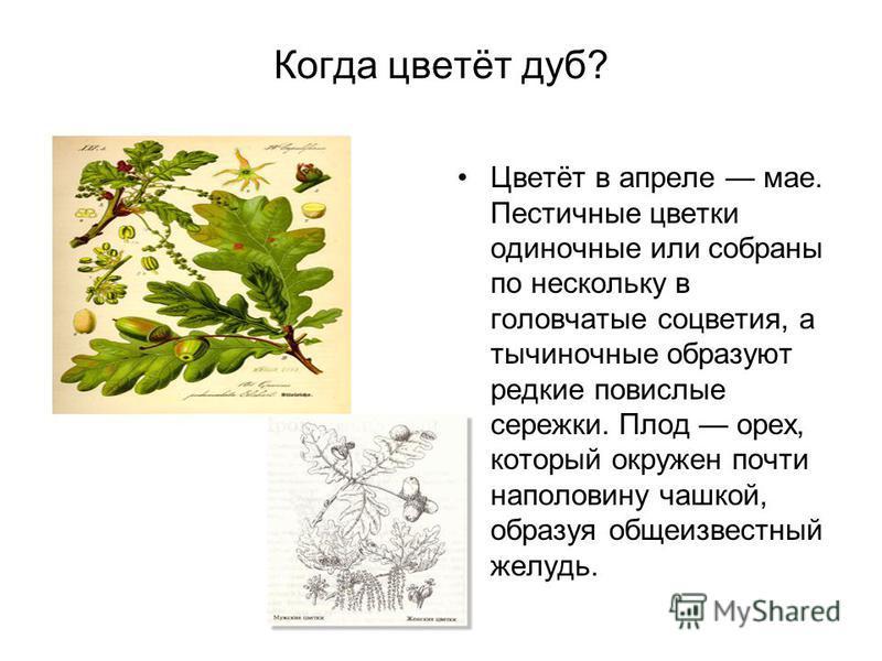 Когда цветёт дуб? Цветёт в апреле мае. Пестичные цветки одиночные или собраны по нескольку в головчатые соцветия, а тычиночные образуют редкие повислые сережки. Плод орех, который окружен почти наполовину чашкой, образуя общеизвестный желудь.