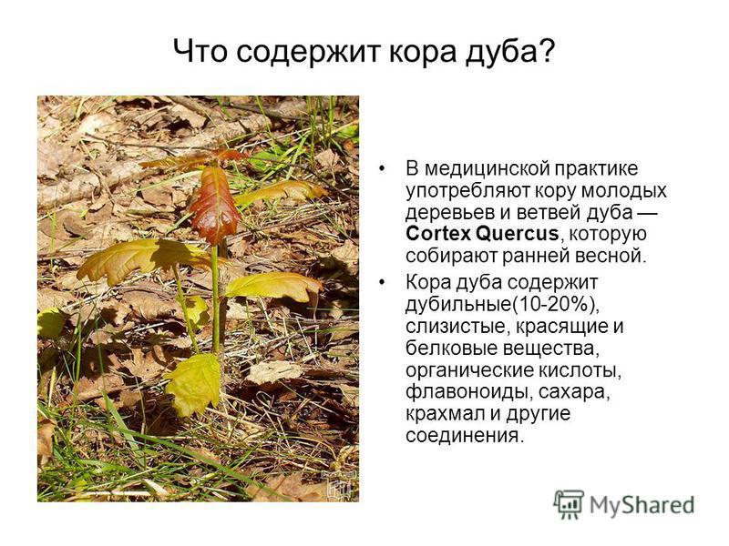 Что содержит кора дуба? В медицинской практике употребляют кору молодых деревьев и ветвей дуба Cortex Quercus, которую собирают ранней весной. Кора дуба содержит дубильные(10-20%), слизистые, красящие и белковые вещества, органические кислоты, флавон