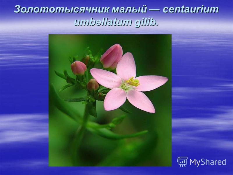 Золототысячник малый centaurium umbellatum gilib.