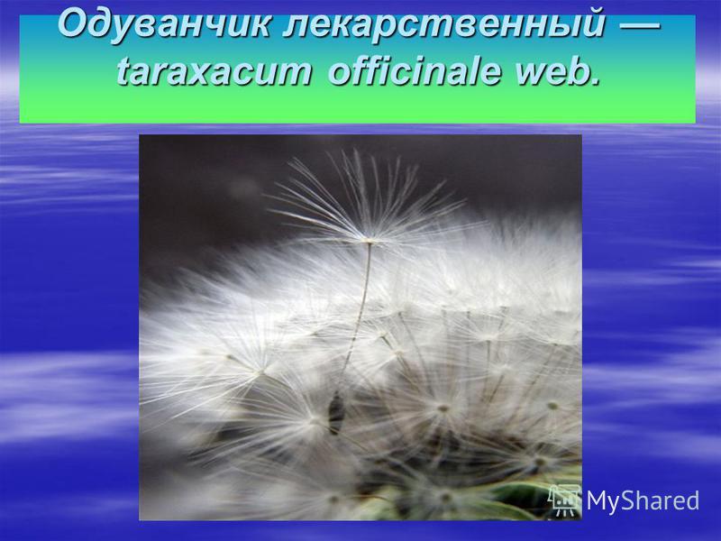Одуванчик лекарственный taraxacum officinale web.