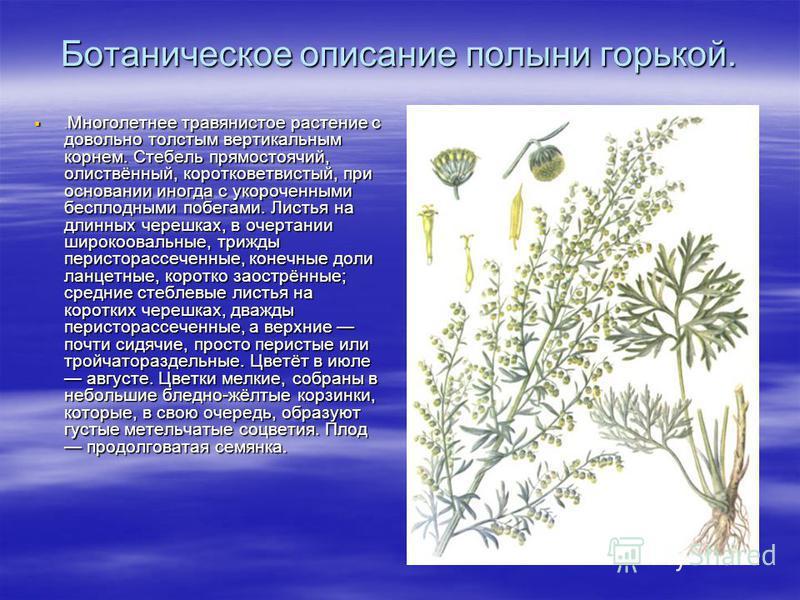 Ботаническое описание полыни горькой.. Многолетнее травянистое растение с довольно толстым вертикальным корнем. Стебель прямостоячий, олиствённый, коротковетвистый, при основании иногда с укороченными бесплодными побегами. Листья на длинных черешках,