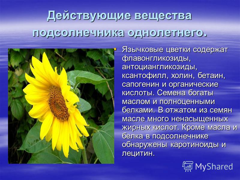 Действующие вещества подсолнечника однолетнего. Язычковые цветки содержат флавонгликозиды, антоциангликозиды, ксантофилл, холин, бетаин, сапогенин и органические кислоты. Семена богаты маслом и полноценными белками. В отжатом из семян масле много нен