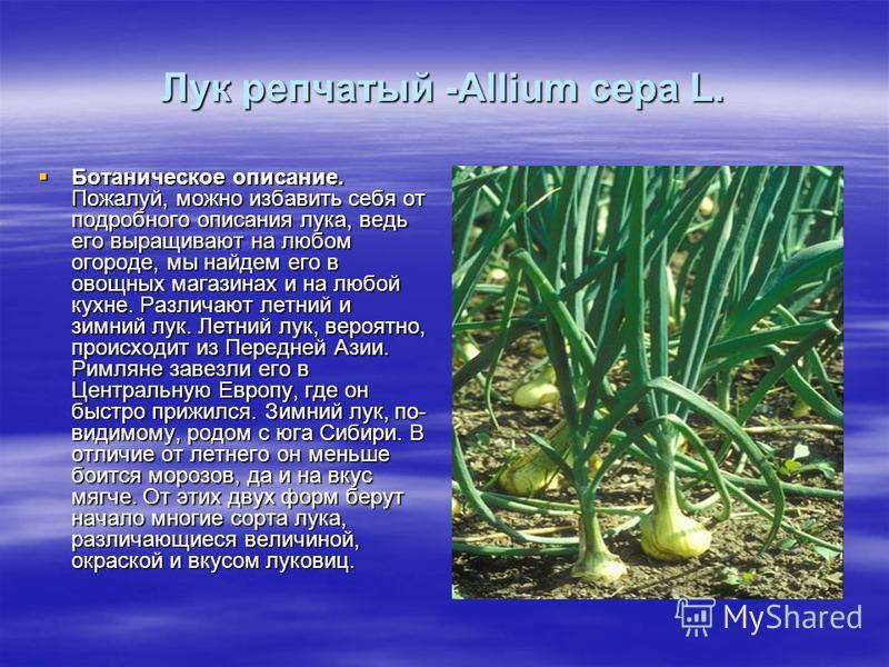 Лук репчатый -Allium cepa L. Ботаническое описание. Пожалуй, можно избавить себя от подробного описания лука, ведь его выращивают на любом огороде, мы найдем его в овощных магазинах и на любой кухне. Различают летний и зимний лук. Летний лук, вероятн