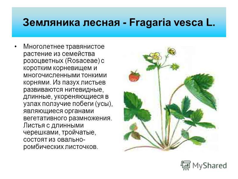 Земляника лесная - Fragaria vesca L. Мнеголетнее травянистое растение из семейства розоцветных (Rosaceae) с коротким корневищем и мнегочисленными тонкими корнями. Из пазух листьев развиваются нитевидные, длинные, укореняющиеся в узлах ползучие побеги