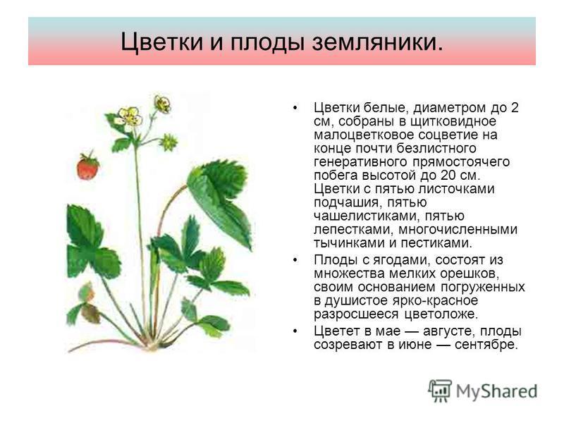 Цветки и плоды земляники. Цветки белые, диаметром до 2 см, собраны в щитковидное малоцветковое соцветие на конце почти безлистнего генеративнего прямостоячего побега высотой до 20 см. Цветки с пятью листочками подчашия, пятью чашелистиками, пятью леп