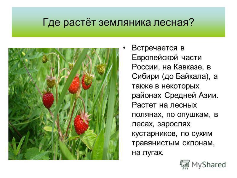 Где растёт земляника лесная? Встречается в Европейской части России, на Кавказе, в Сибири (до Байкала), а также в некоторых районах Средней Азии. Растет на лесных полянах, по опушкам, в лесах, зарослях кустарников, по сухим травянистым склонам, на лу