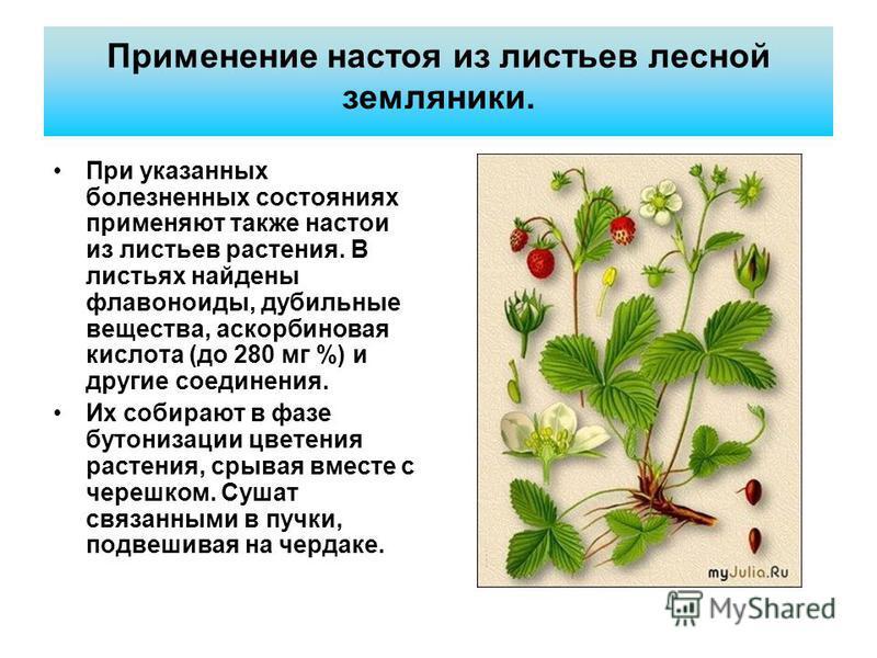 Применение настоя из листьев лесной земляники. При указанных болезненных состояниях применяют также настои из листьев растения. В листьях найдены флавоноиды, дубильные вещества, аскорбиновая кислота (до 280 мг %) и другие соединения. Их собирают в фа