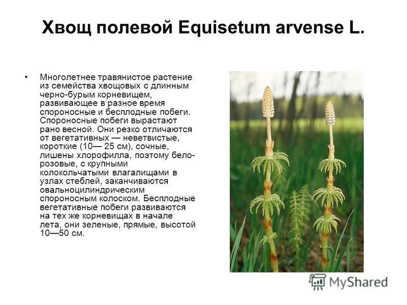 Хвощ полевой Equisetum arvense L. Мнеголетнее травянистое растение из семейства хвощовых с длинным черно-бурым корневищем, развивающее в разное время спороносные и бесплодные побеги. Спороносные побеги вырастают рано весной. Они резко отличаются от в