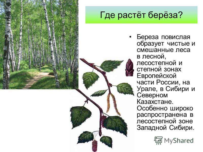 Где растёт берёза? Береза повислая образует чистые и смешанные леса в лесной, лесостепной и степной зонах Европейской части России, на Урале, в Сибири и Северном Казахстане. Особенно широко распространена в лесостепной зоне Западной Сибири.