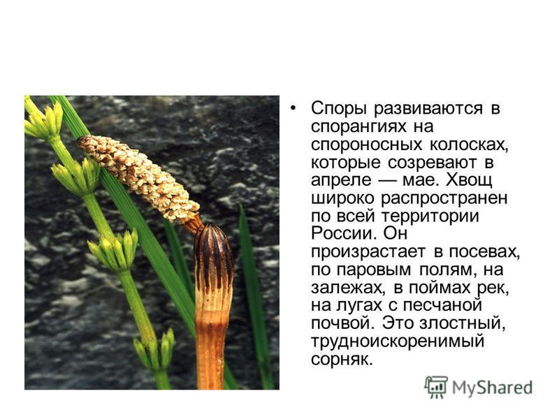 Споры развиваются в спорангиях на спороносных колосках, которые созревают в апреле мае. Хвощ широко распространен по всей территории России. Он произрастает в посевах, по паровым полям, на залежах, в поймах рек, на лугах с песчаной почвой. Это злостн