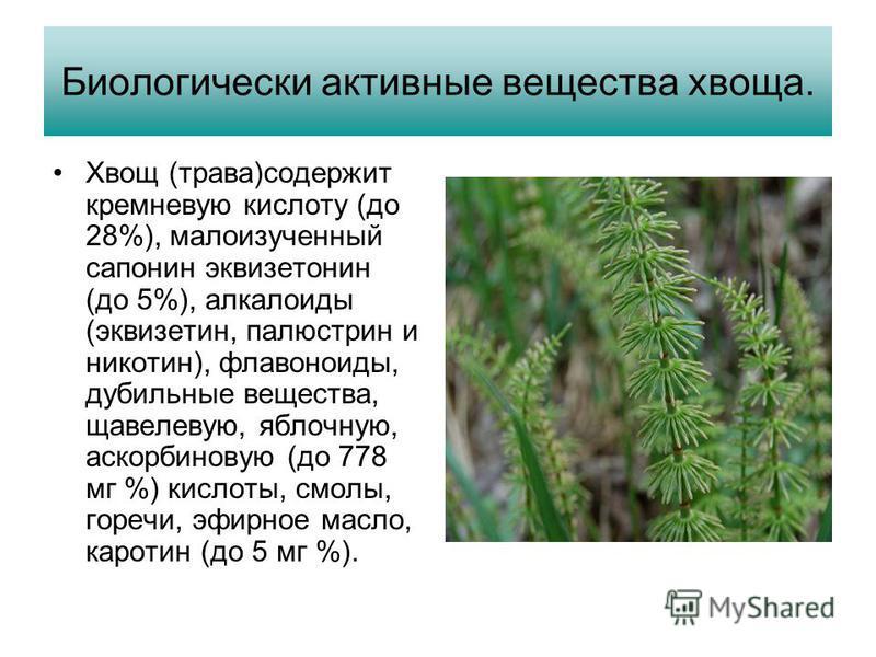 Биологически активные вещества хвоща. Хвощ (трава)содержит кремневую кислоту (до 28%), малоизученный сапонин эквизетонин (до 5%), алкалоиды (эквизетин, палюстрин и никотин), флавоноиды, дубильные вещества, щавелевую, яблочную, аскорбиновую (до 778 мг