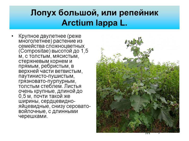 Лопух большой, или репейник Arctium lappa L. Крупное двулетнее (реже мнеголетнее) растение из семейства сложноцветных (Соmpositae) высотой до 1,5 м, с толстым, мясистым, стержневым корнем и прямым, ребристым, в верхней части ветвистым, паутинисто-пуш