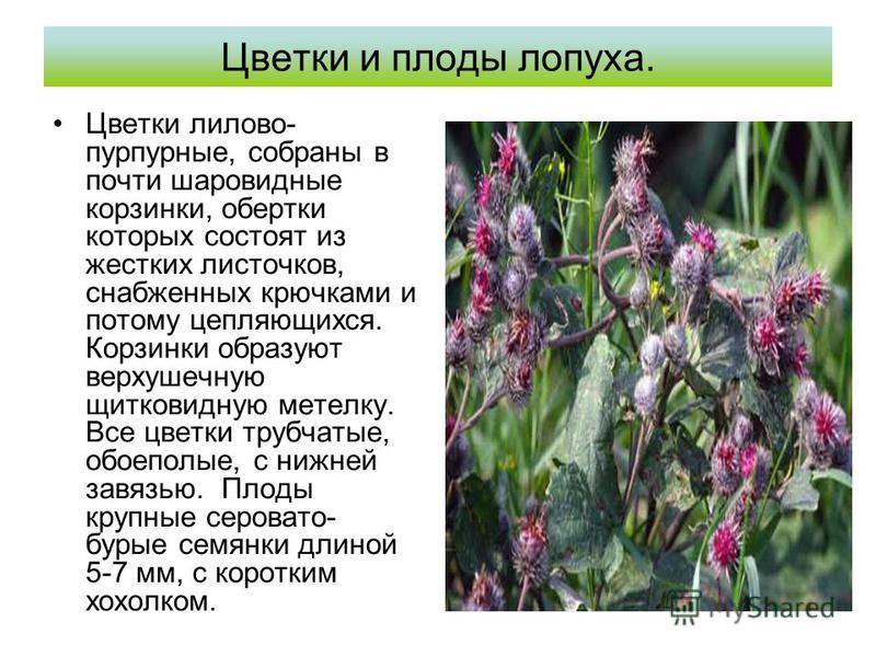 Цветки и плоды лопуха. Цветки лилово- пурпурные, собраны в почти шаровидные корзинки, обертки которых состоят из жестких листочков, снабженных крючками и потому цепляющихся. Корзинки образуют верхушечную щитковидную метелку. Все цветки трубчатые, обо