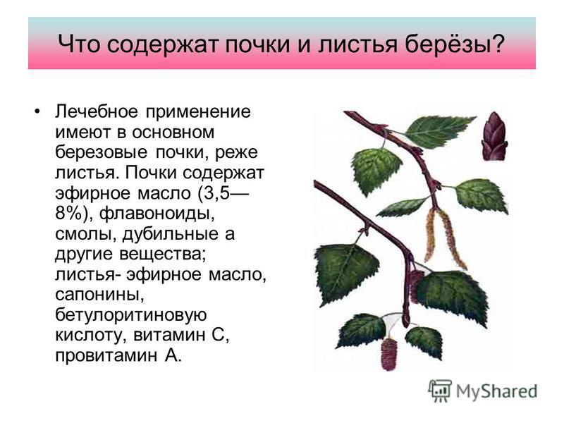 Что содержат почки и листья берёзы? Лечебное применение имеют в основном березовые почки, реже листья. Почки содержат эфирное масло (3,5 8%), флавоноиды, смолы, дубильные а другие вещества; листья- эфирное масло, сапонины, бетулоритиновую кислоту, ви