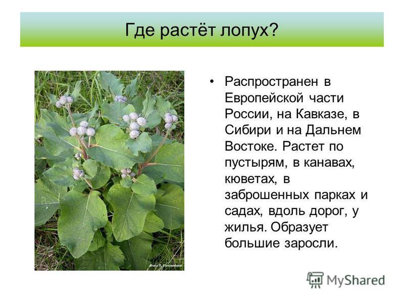 Где растёт лопух? Распространен в Европейской части России, на Кавказе, в Сибири и на Дальнем Востоке. Растет по пустырям, в канавах, кюветах, в заброшенных парках и садах, вдоль дорог, у жилья. Образует большие заросли.