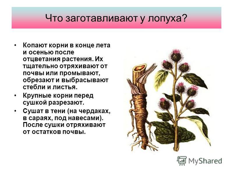 Что заготавливают у лопуха? Копают корни в конце лета и осенью после отцветания растения. Их тщательно отряхивают от почвы или промывают, обрезают и выбрасывают стебли и листья. Крупные корни перед сушкой разрезают. Сушат в тени (на чердаках, в сарая