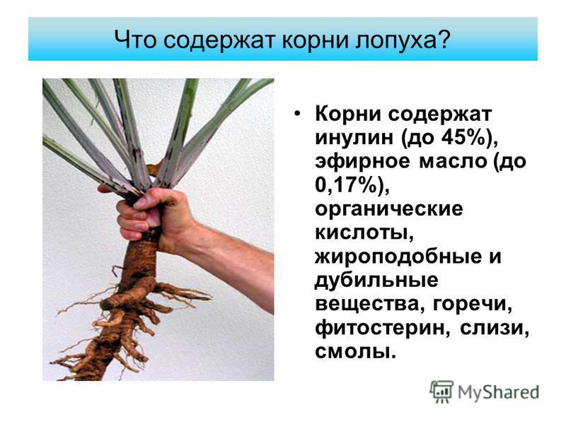 Что содержат корни лопуха? Корни содержат инулин (до 45%), эфирное масло (до 0,17%), органические кислоты, жироподобные и дубильные вещества, горечи, фитостерин, слизи, смолы.