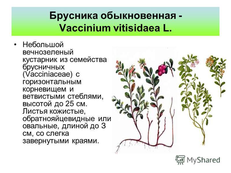 Брусника обыкновенная - Vaccinium vitisidaea L. Небольшой вечнозеленый кустарник из семейства брусничных (Vacciniaceae) с горизонтальным корневищем и ветвистыми стеблями, высотой до 25 см. Листья кожистые, обратнояйцевидные или овальные, длиной до З