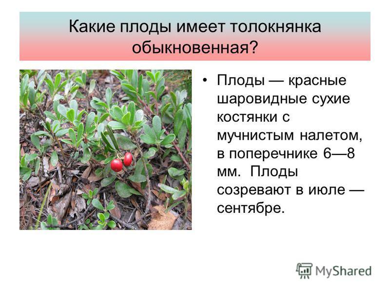 Какие плоды имеет толокнянка обыкновенная? Плоды красные шаровидные сухие костянки с мучнистым налетом, в поперечнике 68 мм. Плоды созревают в июле сентябре.