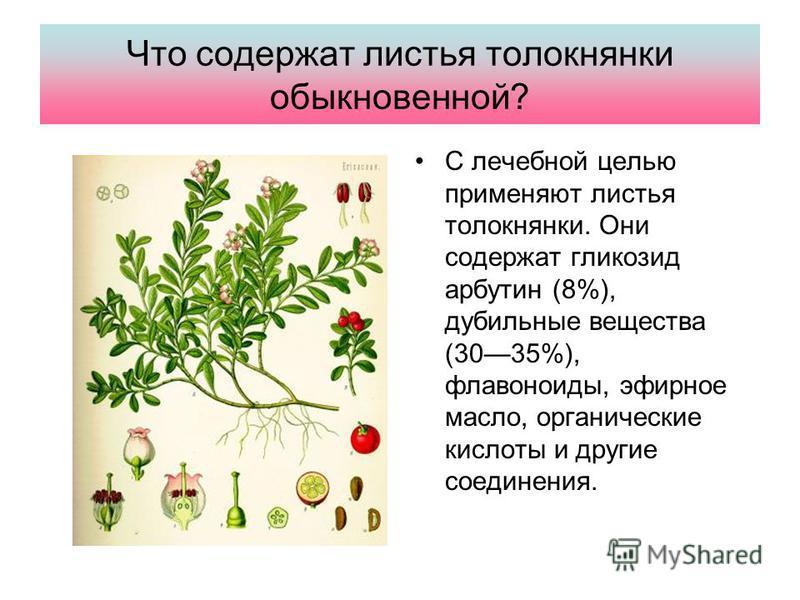 Что содержат листья толокнянки обыкновенной? С лечебной целью применяют листья толокнянки. Они содержат гликозид арбутин (8%), дубильные вещества (3035%), флавоноиды, эфирное масло, органические кислоты и другие соединения.