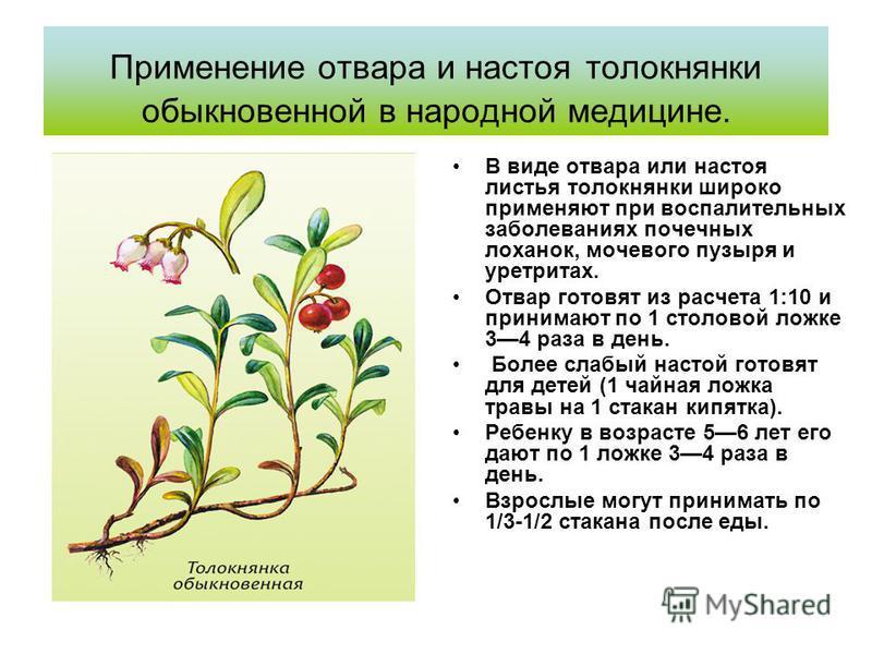 Применение отвара и настоя толокнянки обыкновенной в народной медицине. В виде отвара или настоя листья толокнянки широко применяют при воспалительных заболеваниях почечных лоханок, мочевого пузыря и уретритах. Отвар готовят из расчета 1:10 и принима