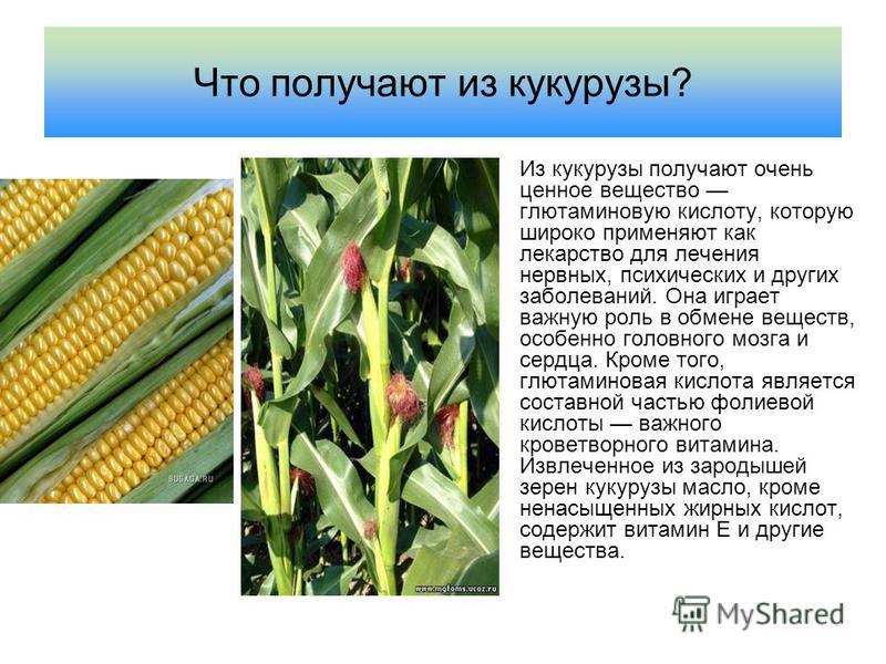 Что получают из кукурузы? Из кукурузы получают очень ценное вещество глютаминовую кислоту, которую широко применяют как лекарство для лечения нервных, психических и других заболеваний. Она играет важную роль в обмене веществ, особенно головного мозга