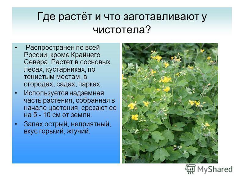 Где растёт и что заготавливают у чистотела? Распространен по всей России, кроме Крайнего Севера. Растет в сосновых лесах, кустарниках, по тенистым местам, в огородах, садах, парках. Используется надземная часть растения, собранная в начале цветения,