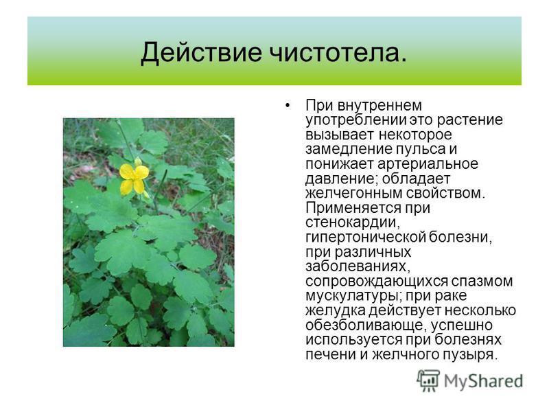 Действие чистотела. При внутреннем употреблении это растение вызывает некоторое замедление пульса и понижает артериальное давление; обладает желчегонным свойством. Применяется при стенокардии, гипертонической болезни, при различных заболеваниях, сопр
