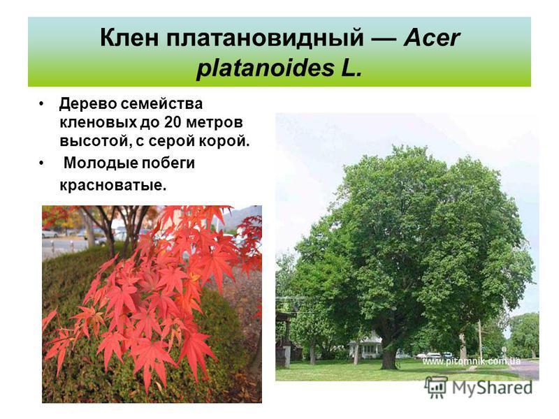 Клен платановидный Acer platanoides L. Дерево семейства кленовых до 20 метров высотой, с серой корой. Молодые побеги красноватые.