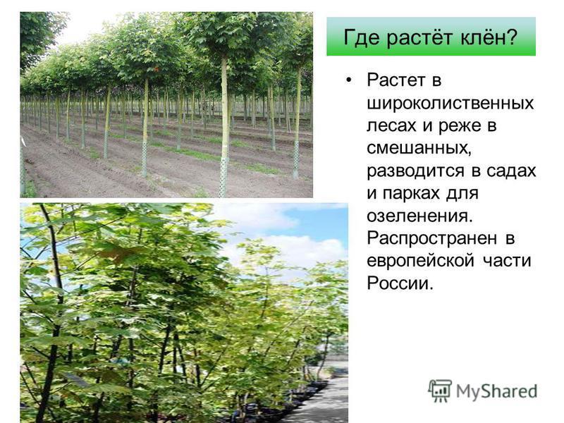 Где растёт клён? Растет в широколиственных лесах и реже в смешанных, разводится в садах и парках для озеленения. Распространен в европейской части России.
