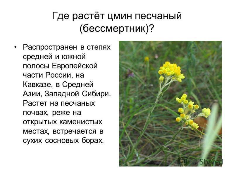 Где растёт цмин песчаныйй (бессмертник)? Распространен в степях средней и южной полосы Европейской части России, на Кавказе, в Средней Азии, Западной Сибири. Растет на песчаныйх почвах, реже на открытых каменистых местах, встречается в сухих сосновых